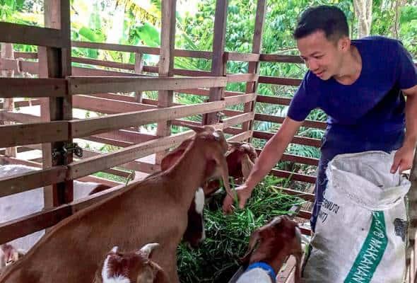 Juruteknik hospital jadi penggembala kambing berjaya